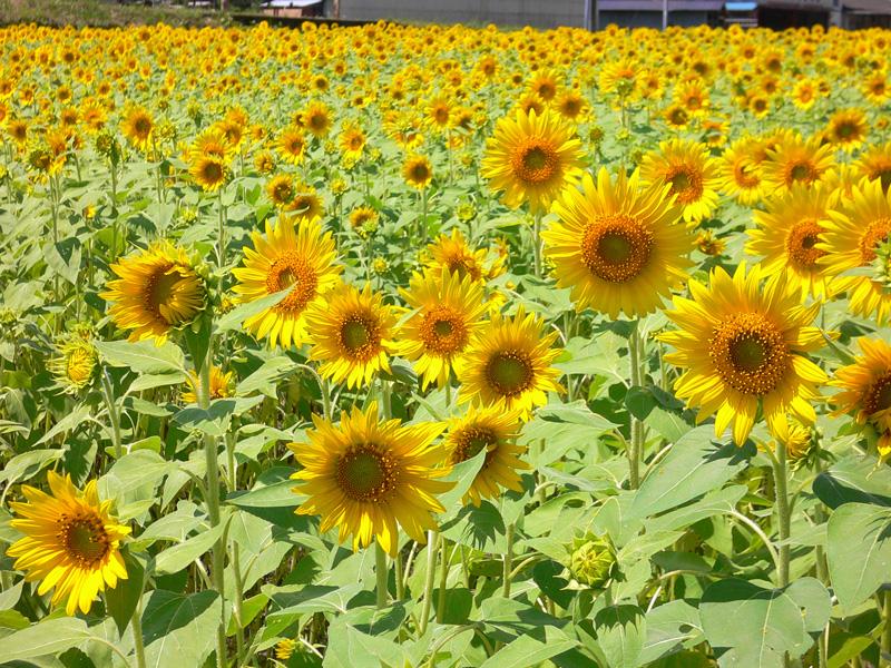 たんとう花公園 ひまわり畑